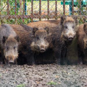 Feral Hogs Cause Global Warming!